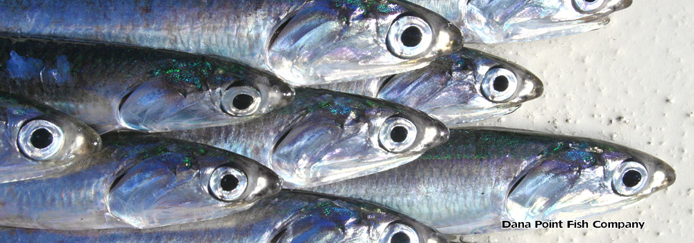 Northern Anchovy – Engraulis Mordax