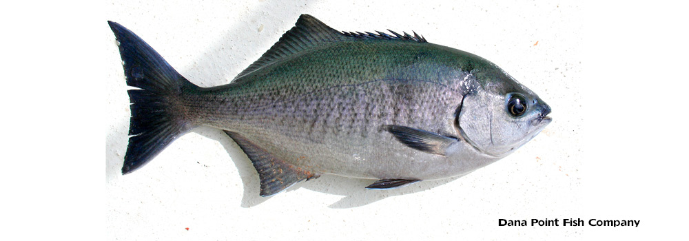Catalina Blue Perch – Medialuna Californiensis