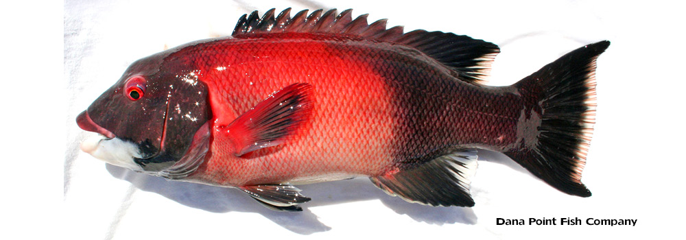 Sheephead (California) SEMICOSSYPHUS PULCHER