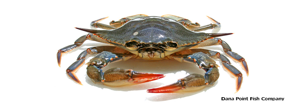Female Atlantic Blue Crab Anatomy – Callinectes sapidus