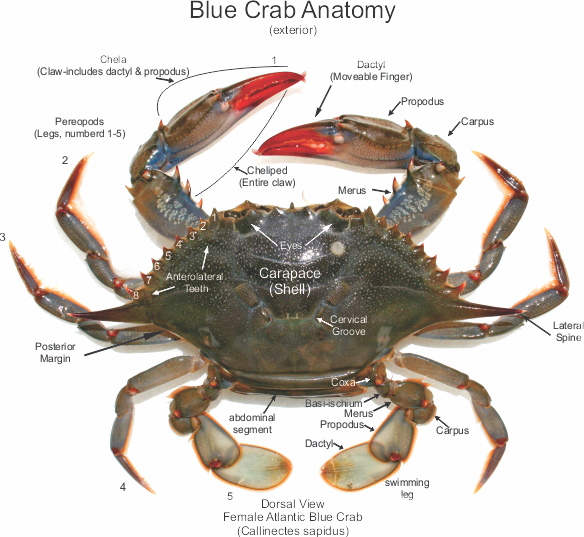 blue crab anatomy master web