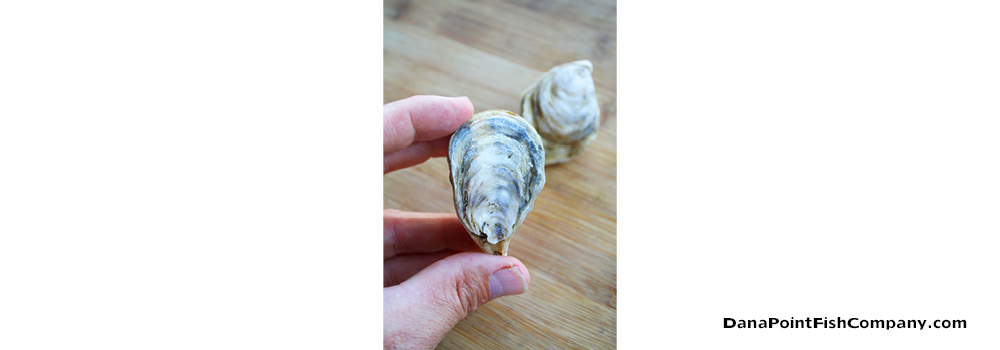 Oysters – Bivalve Mollusks