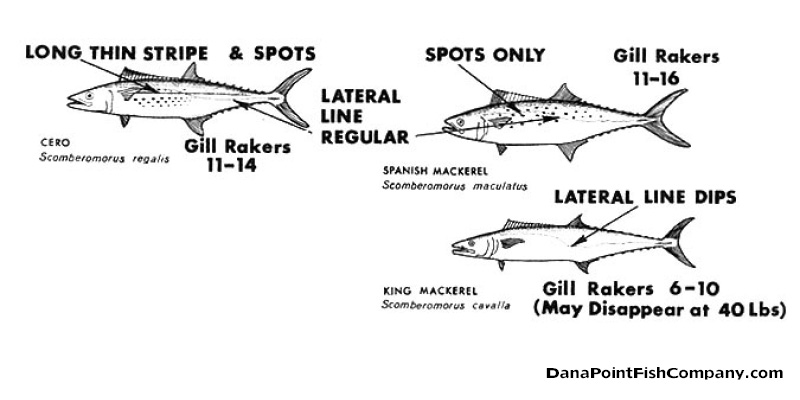 Spanish, King Mackerel: Identification