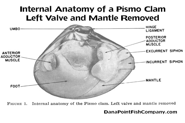 pismo-clam-anatomy-internal