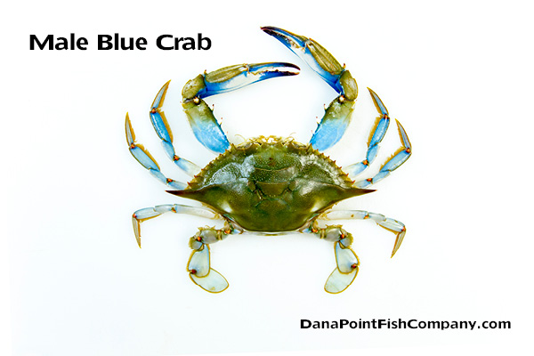 Male Atlantic Blue Crab – Callinectes sapidus