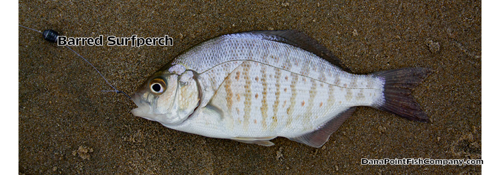 Barred Surfperch – Amphistichus Argenteus