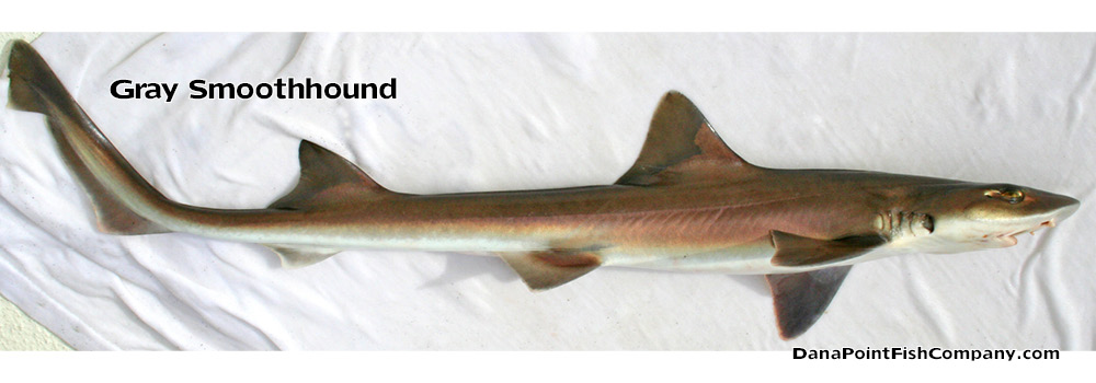 gray-smoothhound