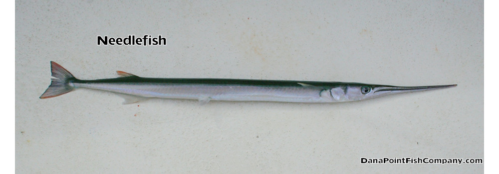Needlefish – Tylosurus Pacificus