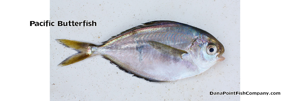 Pacific butterfish peprilus simillimus dana point fish for Fish count dana point