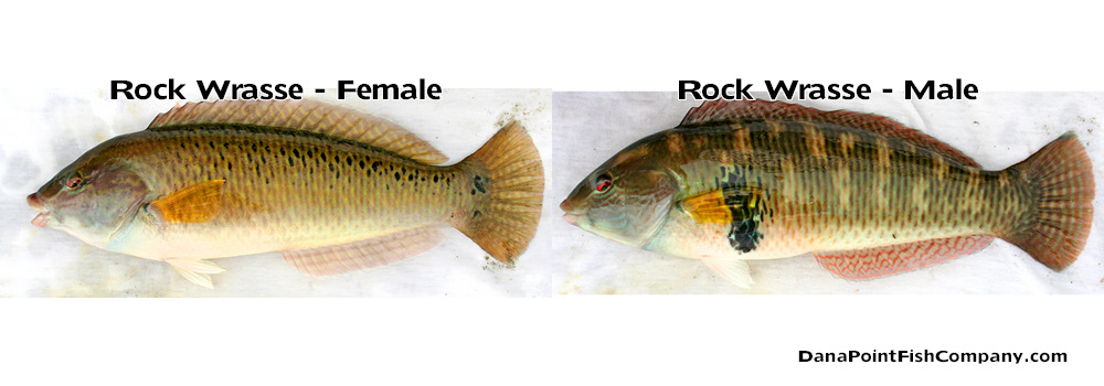 rock-wrasse-male-female