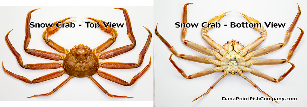 Snow crab - top and bottom views.