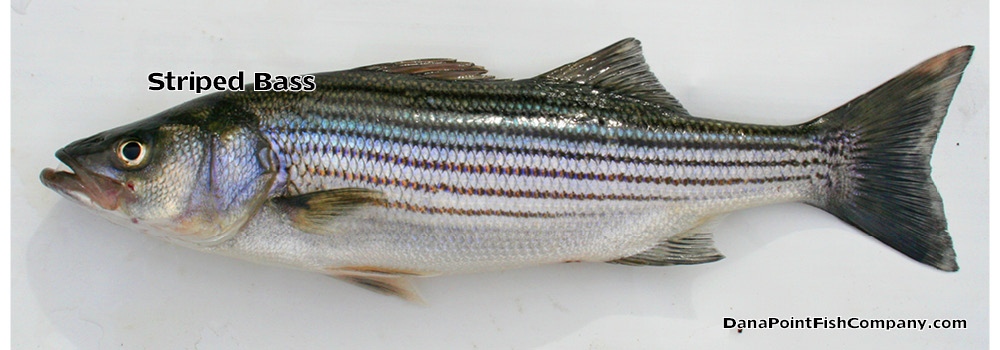 Striped Bass – Morone Saxatillis