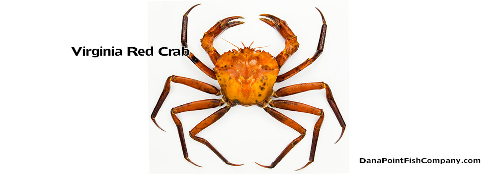 Virginia Red Crab – Chacean Quinquedens