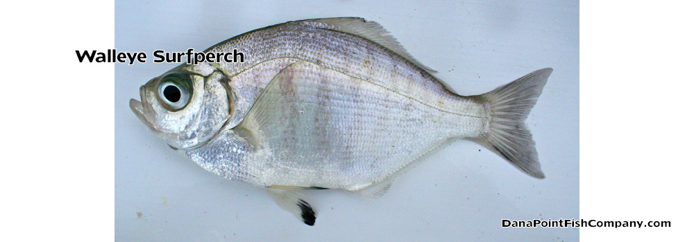 Walleye Surfperch – Hyperprosopon Argenteum