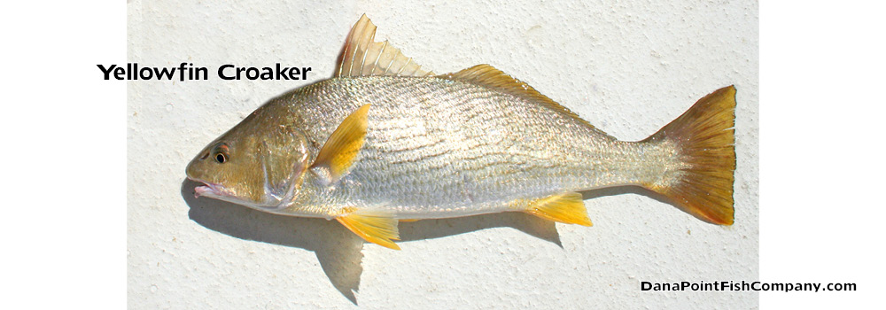 Yellowfin Croaker -Umbrina Roncador