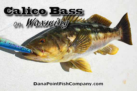 Calico bass on waxwing dana point fish company for Fish count dana point