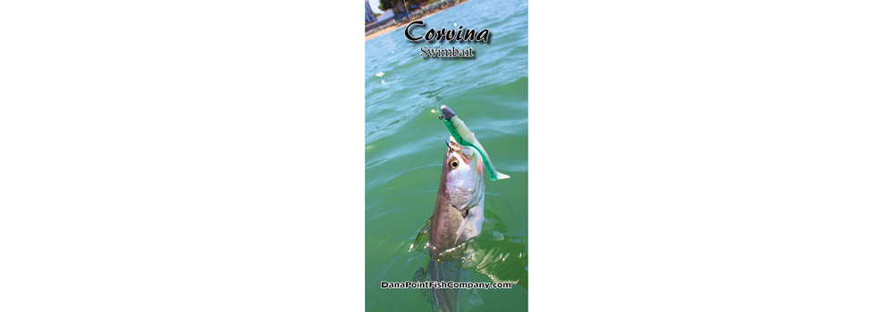 Corvina Caught on Swimbait