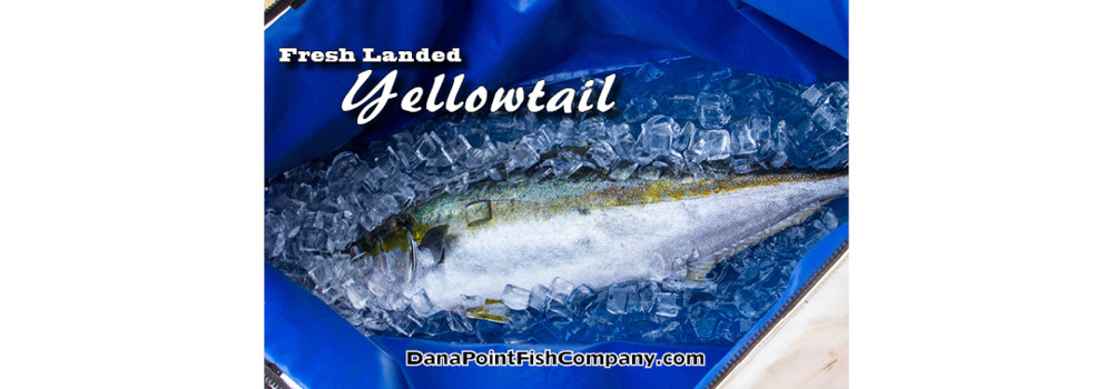 Freshly Landed Yellowtail