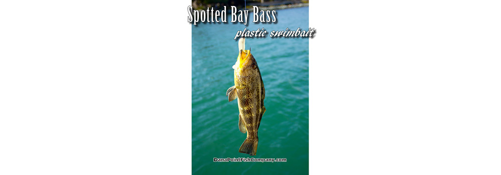 Spotted Bay Bass on Plastic Swimbait
