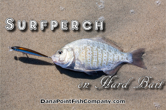 Surfperch on Hard Bait