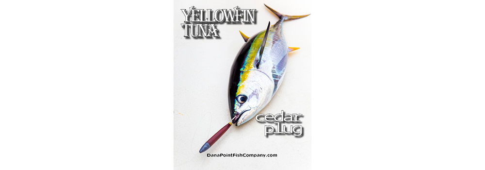 Yellowfin Tuna on Cedar Plug