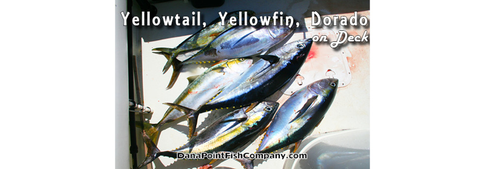 Yellowtail, Yellowfin, Dorado on Deck