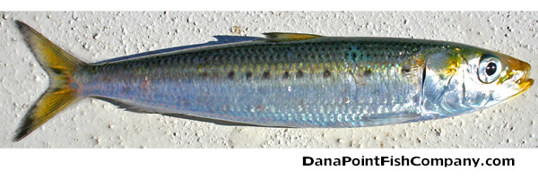 Sardines - Hook Up to Plate Up | Dana Point Fish Company