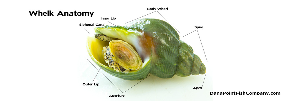 Whelk Anatomy