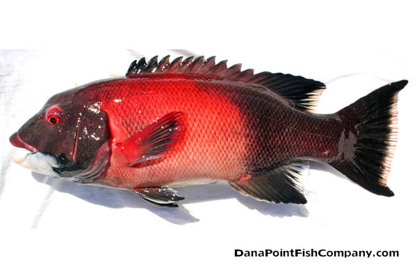 Info and identification dana point fish company for Fish count dana point