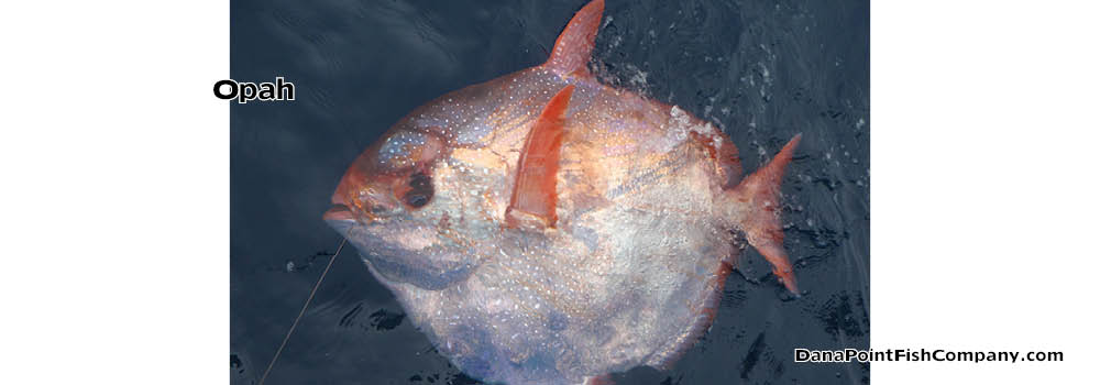 Opah – Moonfish Is First Warm Blooded Fish