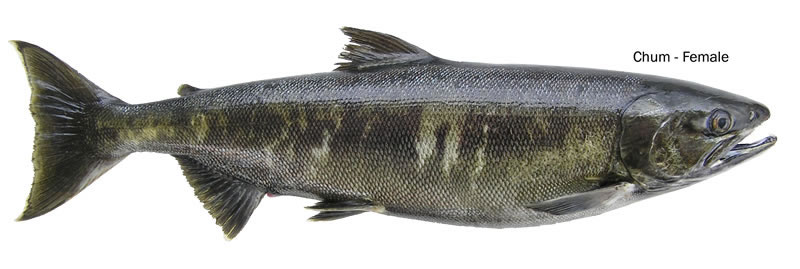 Spawning Female Chum Salmon - Image courtesy Washing Department of Fish and Wildlife